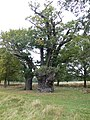 Ancient oak tree at Richmond Park - geograph.org.uk - 2140357.jpg
