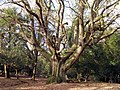 Ancient oak west of The Churchyard, New Forest - geograph.org.uk - 336133.jpg