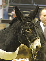 Ane-grand-noir-du-berry SDA2014.JPG