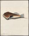 Anema inerme - 1700-1880 - Print - Iconographia Zoologica - Special Collections University of Amsterdam - UBA01 IZ13200029.tif
