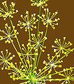 Anethum graveolens.jpg