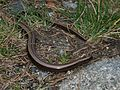 Anguis fragilis fragilis in the south of France.jpg