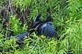 Anhinga male drying up (8504514466).jpg