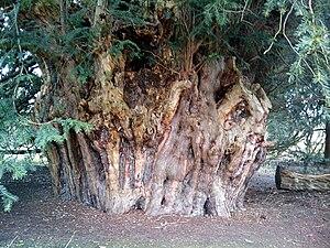 Ankerwycke Yew - The Ankerwycke Yew