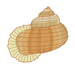 Annularia-pulchra-illustration.png
