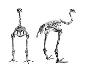Bush moa - Skeleton