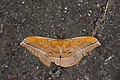 Antheraea formosana (37237072124).jpg