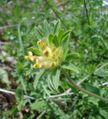 Anthyllis vulneraria01.jpg