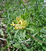 Anthyllis vulneraria01.jpg