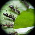Ants drinking honey 1, Brazil.jpg