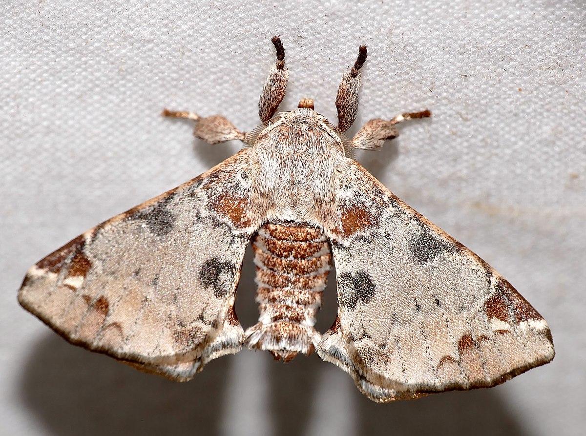 Sưu tập Bộ cánh vẩy  - Page 6 1200px-Apatelodid_Moth_%28Apatelodes_nina%29_%2827174421318%29