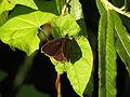 Aphantopus hyperantus (14517773354).jpg