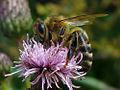 Apis mellifera(bee).jpg