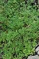 Apium fernandezianum.jpg