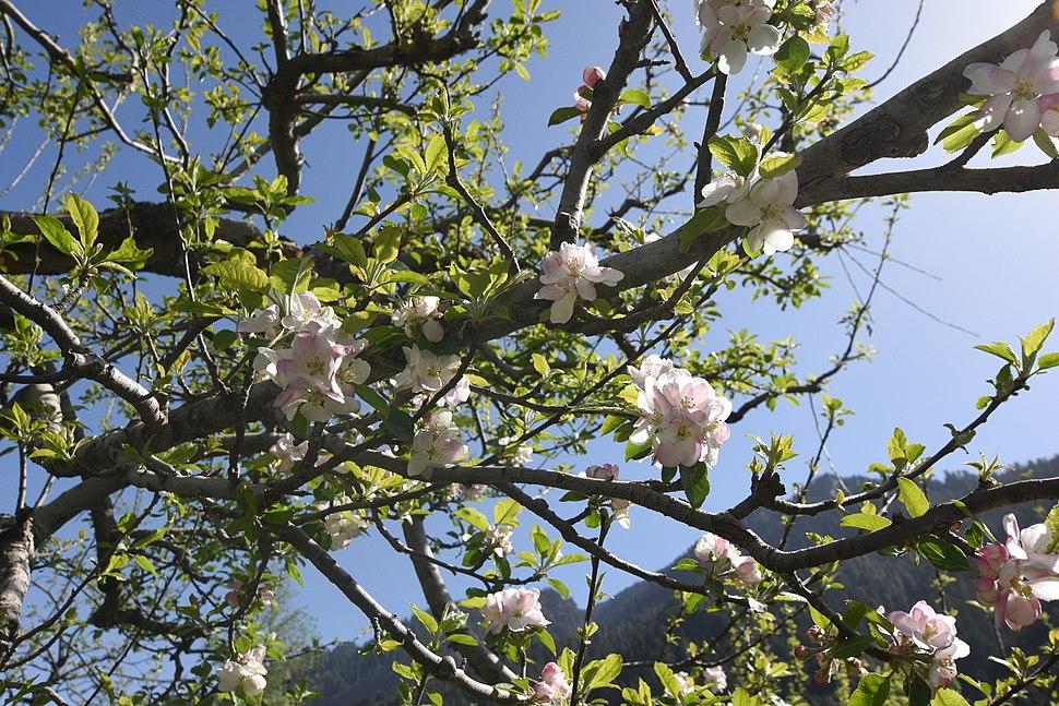 Apple Blossom @ Manali