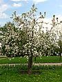 Apple blossom (Malus domestica) 10.JPG