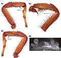 Aptostichus angelinajolieae anatomy (Zookeys).jpg