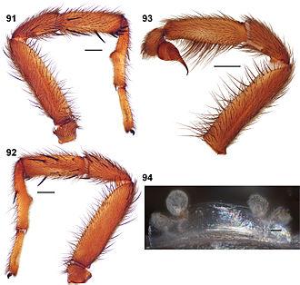 Aptostichus angelinajolieae - 91–93 – male paratype. 91 – retrolateral aspect right leg I. 92 – prolateral aspect right leg I. 93 – retrolateral aspect pedipalp. 94 – cleared spermathecae, female holotype.