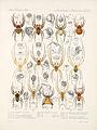 Arachnida Araneidea Vol 1 Table 36.jpg