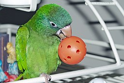 Blue Crowned Conure or Sharp tailed conure is one of the common types of conures available