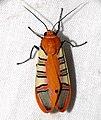 Arctiid Moth (Gorgonidia whitfordi) (40302395611).jpg