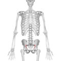 Arcuate line of ilium 02 anterior view.png