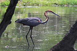 Ardea goliath -Kruger National Park, South Africa-8a.jpg