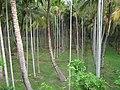 Areca Nut Plantation in Nagercoil, Tamil Nadu, India. (4600092222).jpg