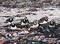 Arenaria interpres plumage.jpg
