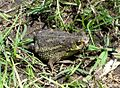 Argentinian Toad - Flickr - gailhampshire.jpg