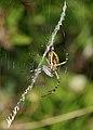 Argiope bruenichii 002 (4957975165).jpg