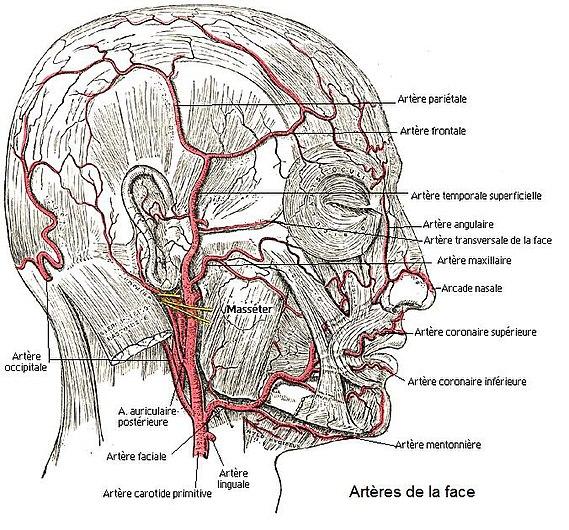Artères de la face.jpg