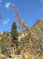 Artemisia dracunculus 10.jpg