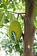 Intianleipäpuu - Photo (c) Prenn, osa oikeuksista pidätetään (CC BY-SA)