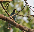 Asian Fairy Bluebird (Irena puella) feeding on Peepal (Ficus religiosa) at Jayanti, Duars, WB W Picture 437.jpg
