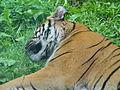 Asian Sumatran Tiger Panthera tigris sumatrae.JPG