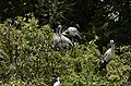 Asian openbill stork (Anastomus oscitans) from Ranganathittu Bird Sanctuary JEG4043.jpg