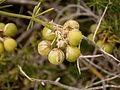 Asparagus umbellatus (La Fajana) 09 ies.jpg