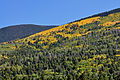 Aspen patches on side of mountain (3971473735).jpg