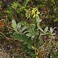 Astragalus frigidus LC0326.jpg