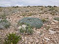 Astragalus hyalinus — Matt Lavin 002.jpg