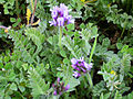 Astragalus stella Habitus 2011-3-24 CampodeCalatrava.jpg