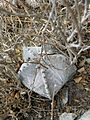 Astrophytum myriostigma (5725846960).jpg