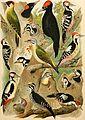 Atlante ornitologico - uccelli europei - con notizie d'indole generale e particolare (1902) (14562847750).jpg