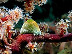 Atriolum robustum (Ascidian) on Siphonogorgia godeffroyi (Soft tree coral).jpg