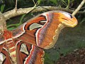 Attacus atlas - Atlas moth at Peravoor 2017 (21).jpg