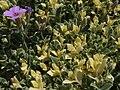 Aubrieta deltoidea 'Argenteovariegata' a1.jpg
