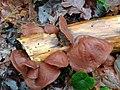 Auricularia auricula-judae 107160516.jpg