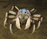 The light-blue Soldier Crab (Mictyris longicarpus)