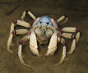 A crab lifts sand out from the water into its mouth. The crab is mostly white, with purple joints, and a bluish hue to the carapace.